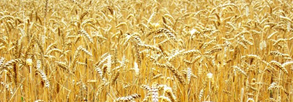 Trigo rusoRusia está entre los primeros cinco productores mundiales de este grano